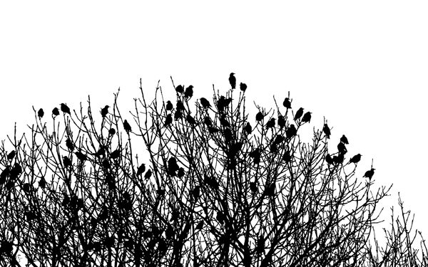 Ash Trees and Starlings